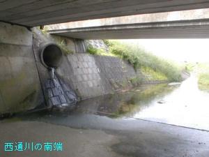 西通川のメダカ