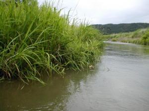 新井田川の外来魚