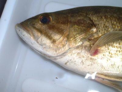 外来魚対策 コクチバス