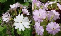 新潟県の桜草.2