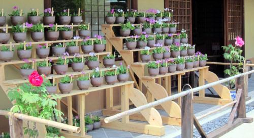 桜草の育て方.4-2