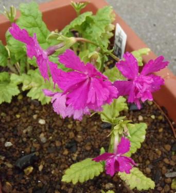 開花状況 65型.2-フラメンコ