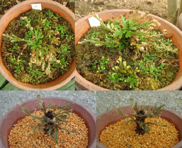 イワヒバ 野生品種 小
