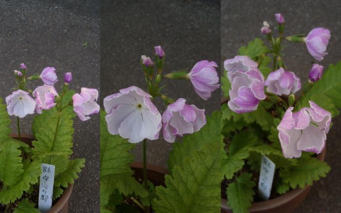開花状況 伝市鉢.2