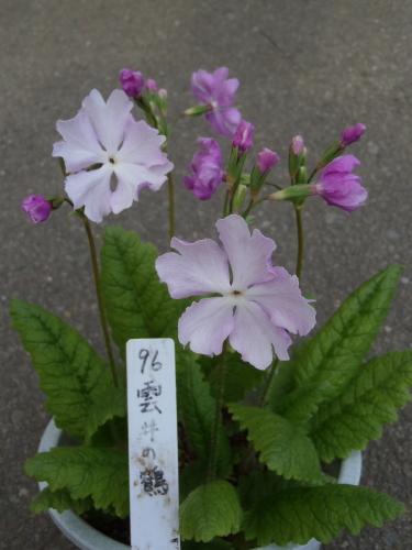 開花状況 プラ鉢.2