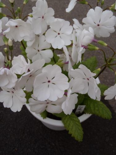 開花状況 プラ鉢.3