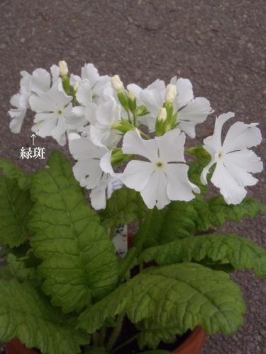 開花状況 駄温鉢.2