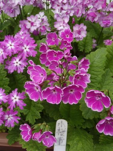 開花状況 65型.2-桃の舞