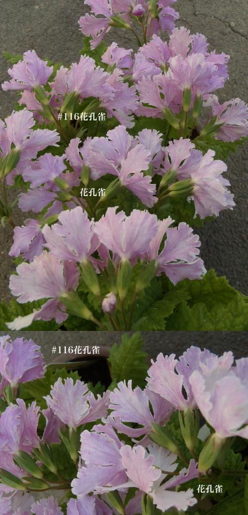 開花状況 伝市鉢.3