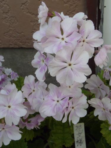 本来の花色