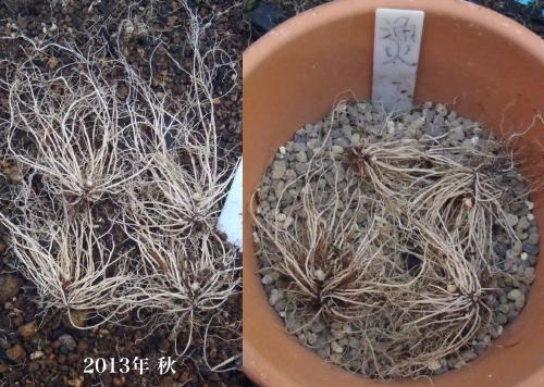 不開花鉢の植え替え.1