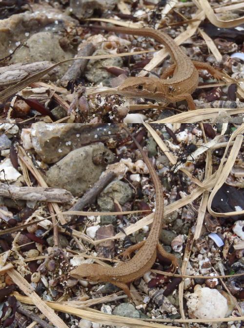 飛島 カナヘビ