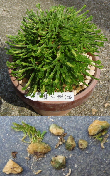 イワヒバ 植え替え 玉手箱 美薗の華