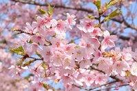 桜、咲く! Cherry Blossom!