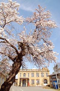 旧高畠駅と桜