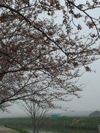 桜はまだかいな?