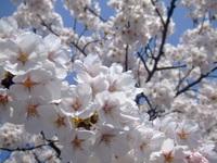 満開の桜 in 庄内