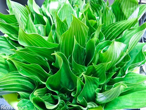 R 山菜『こごみ』&春野菜『うるい』で、春の食卓満喫中の巻♡
