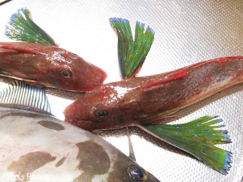 R 庄内浜のお魚講座vol.1『ホウボウと金頭』の見分け方の巻♪
