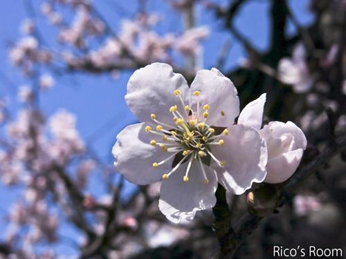R 我が家の梅の花が満開♪ホットケーキ&ジャワカレーの巻