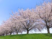 R ♪さくらさくら&おくりびと〜鶴岡『赤川土手の桜並木』〜
