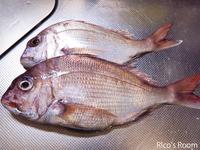 R 庄内浜のお魚講座vol.3 『天然の鯛の見分け方』&『魚のウロコの外し方』