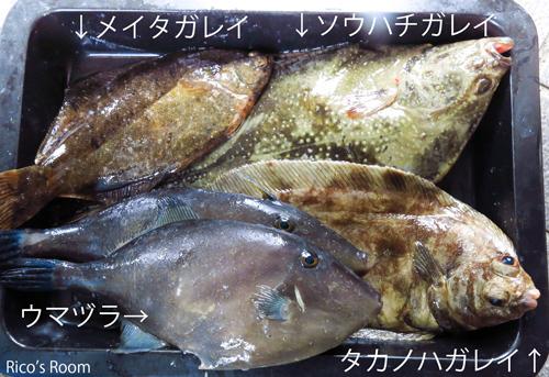 R 庄内浜のお魚講座vol.2 『タコの生命力&カレイの種類』