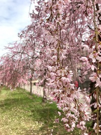 喜多方のしだれ桜