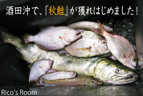 初物!酒田沖で『秋鮭』が獲れはじめました!&嬉しいニュース♪
