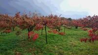 柿畑の風景