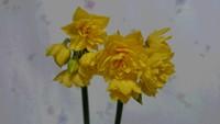 春咲き水仙