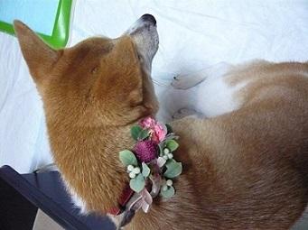 ワンちゃんのかわいい花のアクセサリー ✿