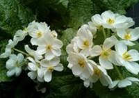 山荷葉の花・・・「草花あそび山荷葉」