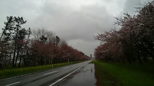桜・菜の花 ♡
