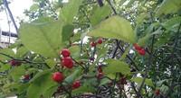 アオハダの赤い実