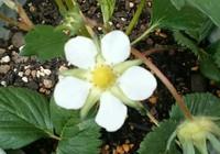 越後姫の花