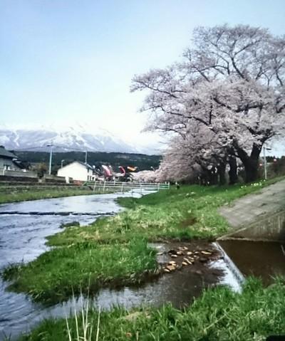中山河川敷公園の桜