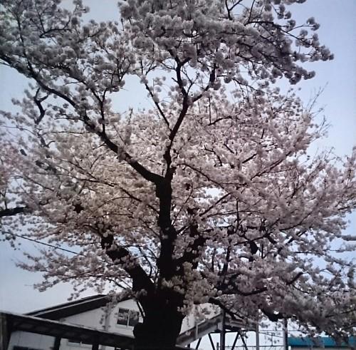 遊佐駅前にある桜