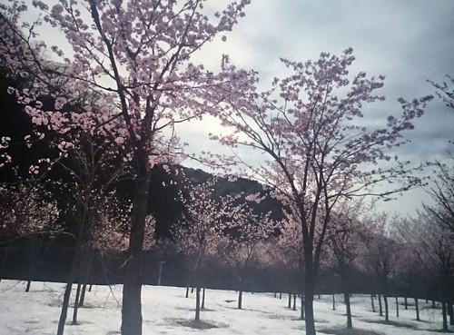 雪の中で咲く桜