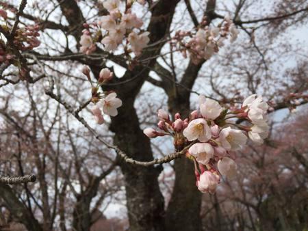 楯山公園の桜開花しました!!
