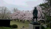 楯山公園桜
