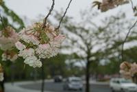 鶴岡公園(櫻)
