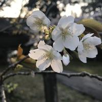 匂い桜が開花しました