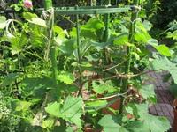 葡萄の鉢植え、