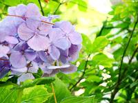 紫陽花といえば・・・