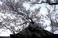 桜咲く 花より団子