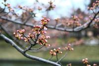 鶴岡も桜開花宣言
