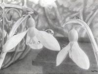 【鉛筆画 7作目】一番やさしい花はユキノハナ【完成】