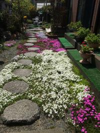 【土曜日の活動】うちの芝桜満開&ギャラリー・トーク参加