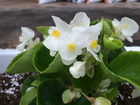 【花植え活動】中学行事でプランターに花を植えました